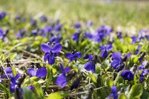 VioletsMeadow