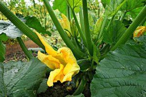 ZucchiniPlant