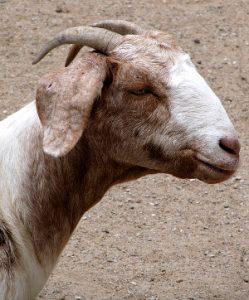 billy-goat-1569283_640